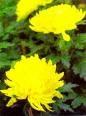 le chrysanthème symbole de longévité