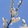 le symbole du printemps